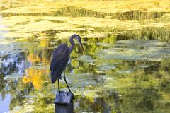 Blue heron perched on small wood birdhouse. Horizontal photo of blue heron perched on small wood birdhouse with Fall colours reflected in pond in the background Stock Photo