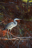 Blue heron in pluvial forest at sunset. Portrait of blue heron in pluvial forest at sunset Royalty Free Stock Images