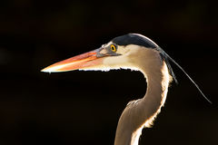 Blue Heron Portrait. Isolated on black royalty free stock photo