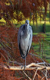 Blue heron portrait. Blue heron rest on the branch in the park Stock Image