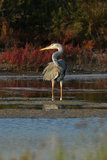 Blue heron portrait Stock Images