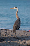 Blue heron poses on beach Stock Images