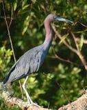 Blue heron posing in profile Stock Photos