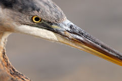 Blue Heron Profile Stock Images