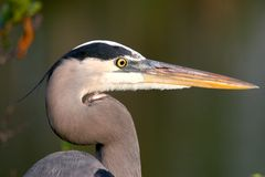 Blue Heron Profile Royalty Free Stock Images