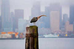 Blue Heron in Puget Sound, Washington state Royalty Free Stock Photo