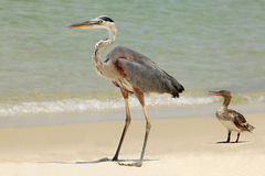 Blue Heron & Red Breasted Merganser on the Beach Stock Photos