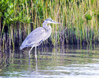 Blue Heron in reeds Stock Images
