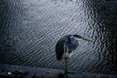 Blue Heron resting Stock Photos