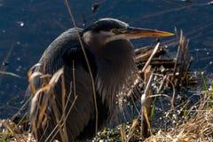 Blue heron bird stock photography