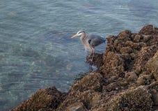 Blue Heron On Rocks 11 Royalty Free Stock Photos