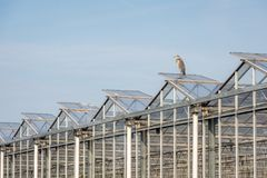 Blue heron on the roof of a glasshouse Royalty Free Stock Image