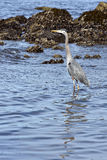 Blue heron sea fishing Royalty Free Stock Photo