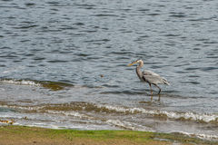 Blue heron sea fishing Stock Photo
