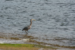 Blue heron sea fishing Royalty Free Stock Photos
