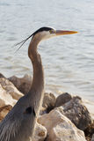 Blue Heron on Shore Royalty Free Stock Image