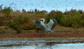 Blue heron show. Ing wings near the lake Stock Photo