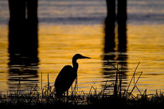 Blue heron silhouette. Great blue heron silhouette with the river in the background Royalty Free Stock Images