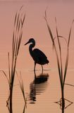 Blue heron silhouette reflected at sunrise Stock Photo