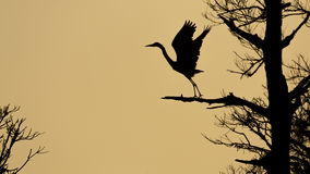 Blue Heron silhouette Royalty Free Stock Image