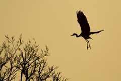 Blue Heron silhouette Royalty Free Stock Photos