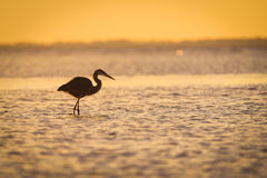 Blue heron silhouetted against sunset Stock Images