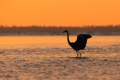 Blue Heron silhouetted against sunset Royalty Free Stock Photo
