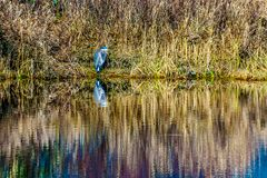 Blue Heron sitting at the edge of a lagoon in Pitt-Addington Marsh in the Pitt Polder Ecological Reserve, near Maple Ridge in the. Fraser Valley of British Stock Images
