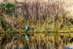 Blue Heron sitting at the edge of a lagoon in Pitt-Addington Marsh in the Pitt Polder Ecological Reserve, near Maple Ridge in the royalty free stock images