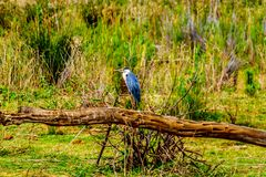 Blue Heron sitting on an old Tree Branch along the Olifants River in Kruger Park Stock Images