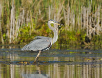 Heron Catches a Fish Royalty Free Stock Image