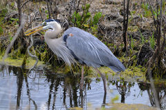 Blue Heron with Snake Royalty Free Stock Photos