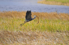 Blue Heron with snake Stock Image