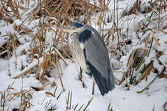 Blue Heron in a snowy landscape Royalty Free Stock Photo