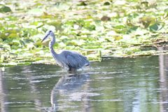 Blue Heron in Blue springs I