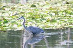 Blue Heron in Blue springs II