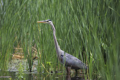 Blue Heron Stock Photo