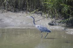 Blue Heron stalking prey. Blue Heron in tidal area of Carolina looking for prey Stock Photo