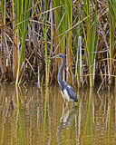 Blue heron stalks its prey Stock Image