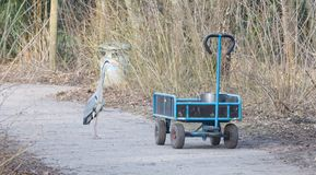 Blue heron standing on a cart loaded with a bucket of fish stock images