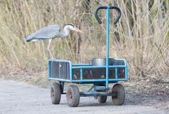Blue heron standing on a cart loaded with a bucket of fish royalty free stock images