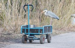 Blue heron standing on a cart loaded with a bucket of fish stock photos