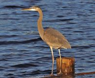 Blue Heron Standing on the dock stock photos
