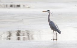 Blue heron standing on the ice stock photos