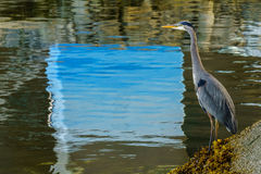 Blue Heron standing near the water - Vancouver Canada Stock Photos
