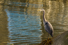 Blue Heron standing near the water - Vancouver Canada Royalty Free Stock Images