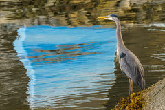 Blue Heron standing near the water - Vancouver Canada Stock Photo