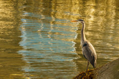 Blue Heron standing near the water - Vancouver Canada Stock Photography