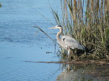 Blue Heron. A blue heron standing among the reeds at Huntington Beach State Park in South Carolina Stock Images