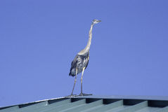 Blue Heron Standing Tall Royalty Free Stock Photo